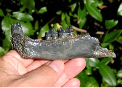 Fossil Puma Jaw