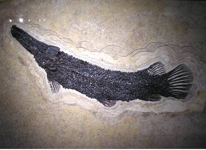Fossil Garfish 50 M.Y.A,. Green River Formation, Wyoming