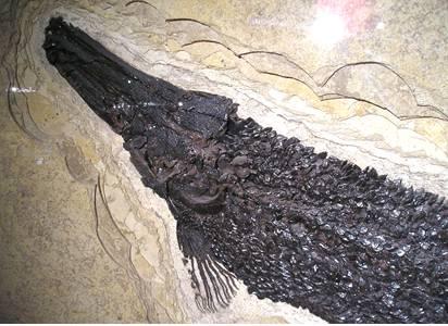 Fossil Garfish
