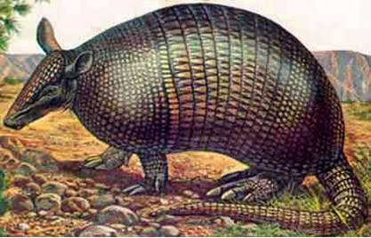 Dasypus bellus Armadillo